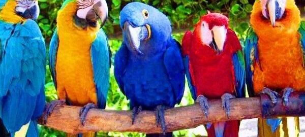 Попугаи разноцветные на ветке