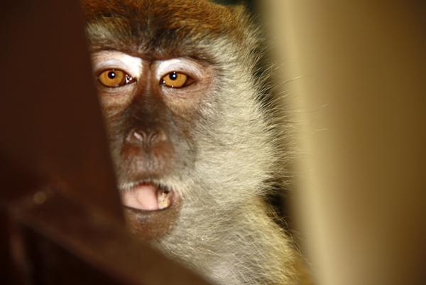 Как вести себя с обезьянами
