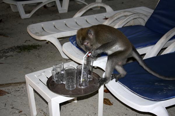 Обезьяна - алкоголик. Photo by Svetlana Fonfrovich