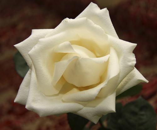 Как сохранить розы свежими #PhotoByNoorySan (11)