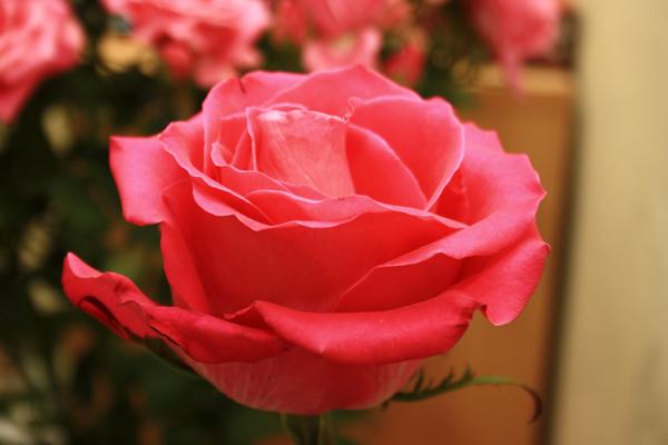 Как сохранить розы свежими #PhotoByNoorySan (12)