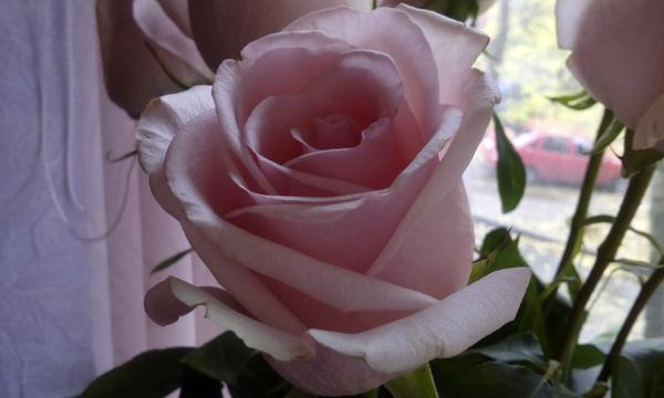 Как сохранить розы свежими #PhotoByNoorySan (6)
