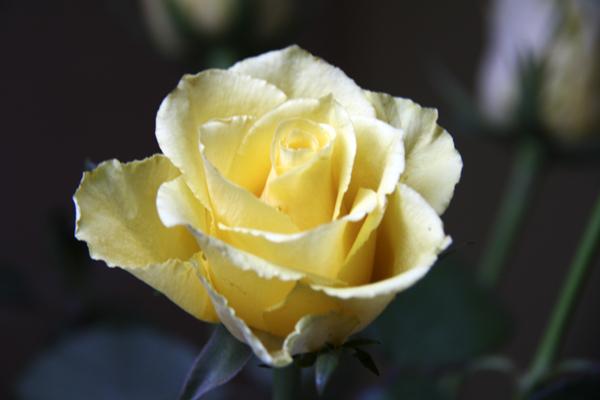 Как сохранить розы свежими #PhotoByNoorySan