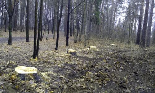 Рубка леса в Малаховке 2014 (6)