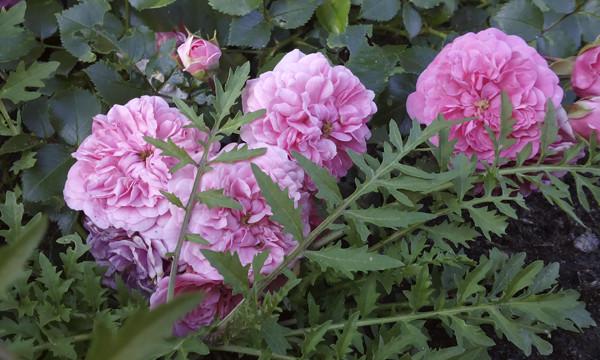 розовые розы фото, необычные фото роз, розарий в москве, розы в розарии