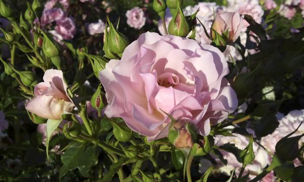 розы в розарии, розарий в москве, розы фото, розовые розы крупным планом, картинки роз, роза для открытки, необычные розы, необычные сорта роз