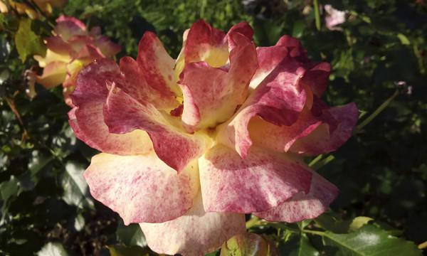 розы необычной окраски, разноцветные розы, необычные сорта роз, розарий в москве, розы в розарии, розы пятнистые фото