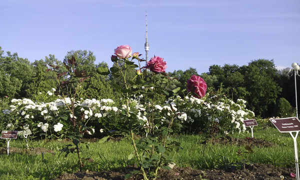 розы картинки, розы фото, розовые розы, фото роз, розовый куст, останкинская башня фото