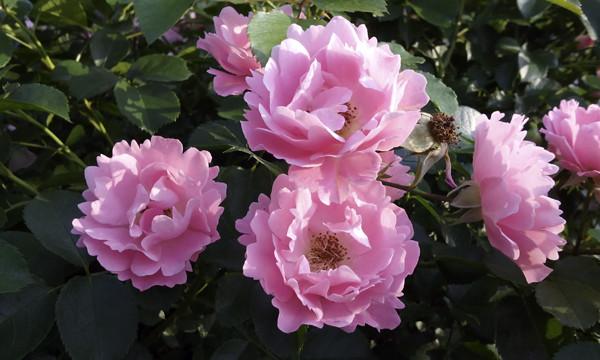 beautiful rose, красивые розы фото, розовые розы фото, розы как из шелка, сорта роз как из шелка, розы шелковые фото, красивые фото роз.розы кустовые розовые, розы в московском розарии, розарий в москве