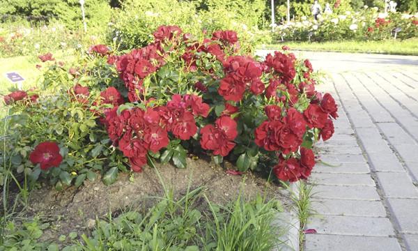 необычные розы, красные розы необычной формы, красивые фото роз, розарий фото, кустовые розы, розы красные кустовые