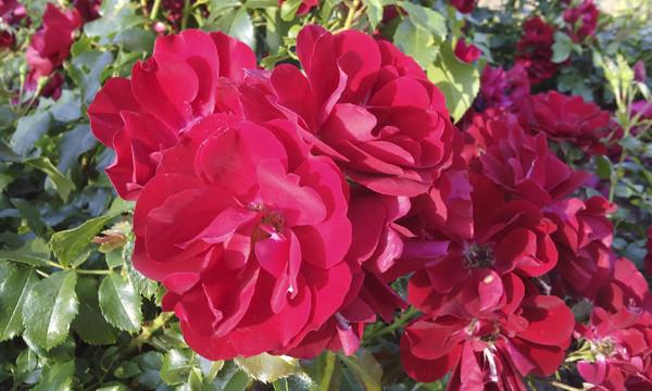 красные розы необычной формы, red roses, roses photo, unreal roses, розарий ботанического сада, розы в москве