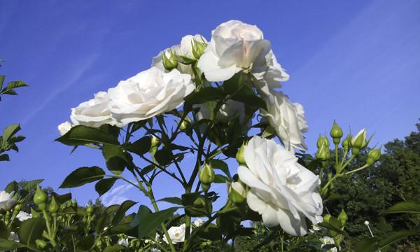 белые розы на фоне неба, белые розы фото, розы белого цвета, фото белых роз, розарий в москве, московский розарий, white rose