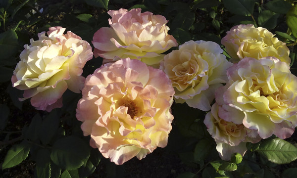 желтые розы фото, желтые розы картинки, розы необычного цвета картинки, фото необычных роз, розы желтые кустовые, розарий московского ботанического сада, yellow roses
