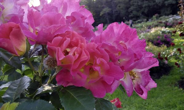 розы из шелка,шелковые розы, необычный сорт роз, роза необычной формы, розы необычные картинки