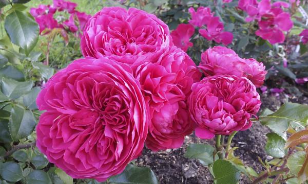 розы пионовидные, розы розетки, розовые розы фото, розы необычной формы, цветы на праздник, розы на день рождения, красивые розы необычного цвета, фото роз крупным планом