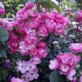розовые розы фото, красивые фото роз, необычные розы фото, картинки роз, розы к празднику, кустовые розы, вьющиеся розы картинки