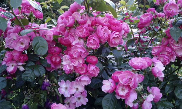 Розы по 50 рублей за миллион