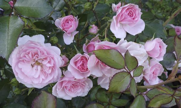 запах роз, фото роз в розарии, розарий с розами в москве, московский розарий фото, розы классические фото, красивые розовые розы, фото розовых роз, beautiful roses