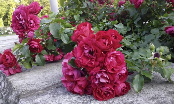 спящие розы, розы спят, поникшие розы, розы на плите, фото красных роз, розы алые кустовые, розарий в москве, куст красных роз