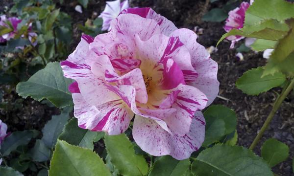 роза в крапинку, роза бело красная, необычные розы картинки, открытки с розами, розарий и розы, необычные сорта роз, роза необычной окраски
