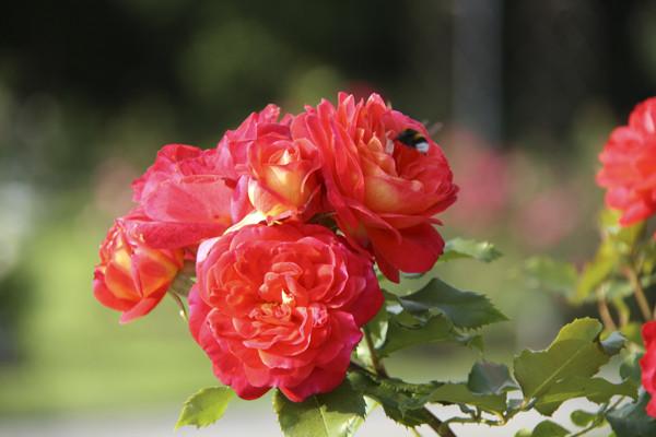 алые розы фото, красные розы картинки, фото роз, необычные розы, розарий в ботаническом саду