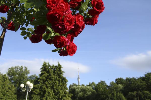 розы на дереве,розы в розарии, розы алые фото, красные розы кустовые, московский ботанический сад, розы на праздник, розы в подарок, необычные красные розы, ярко красные розы фото