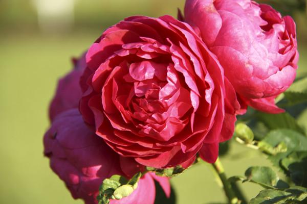 красная роза, роза крупным планом, розы в розарии, московский розарий, роза красная фото