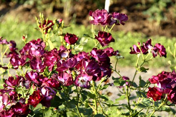 кусты роз, необычные розы, темные розы, бордовые розы фото, розы картинки, розарий в ботаническом саду
