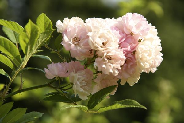 розарий в москве, розы розовые, фото необычных роз, кустовые розы