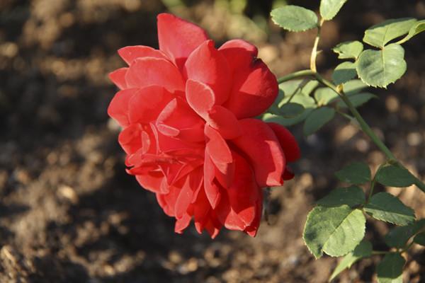 красная роза фото, роза крупным планом, фото красных роз, розарий в москве, розарий в ботаническом саду, розы красные картинки