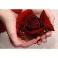 роза в ладонях, лепестки роз, алая роза в ладонях, роза в руке, лепестки алых роз, исполнение желаний, роза алая в ладонях, фото алых лепестков, роза в ладонях фото, роза в ладонях картинки