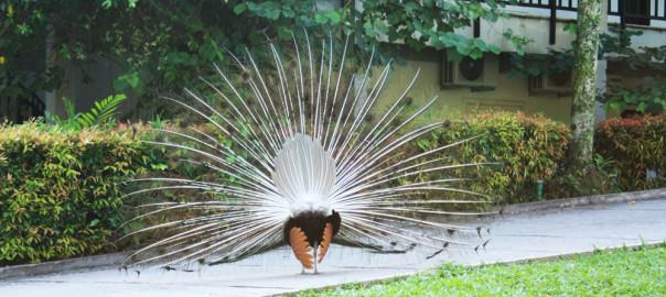 под перьями павлина куриная жопа, павлин вид сзади