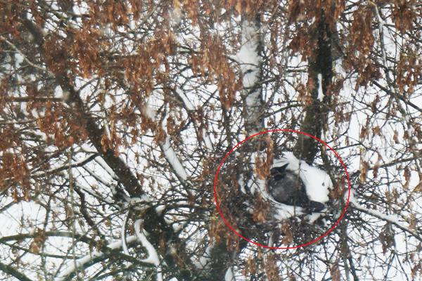 ворона в снегу