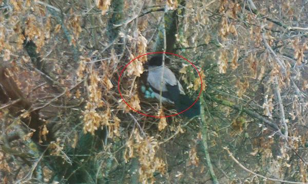 ворона на гнезде